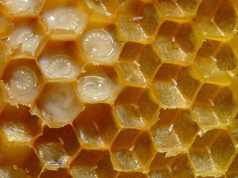 Маточное молочко пчелиное полезные свойства для мужчин